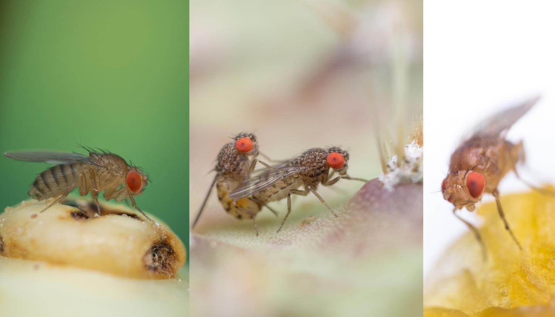 Drosophila spp.