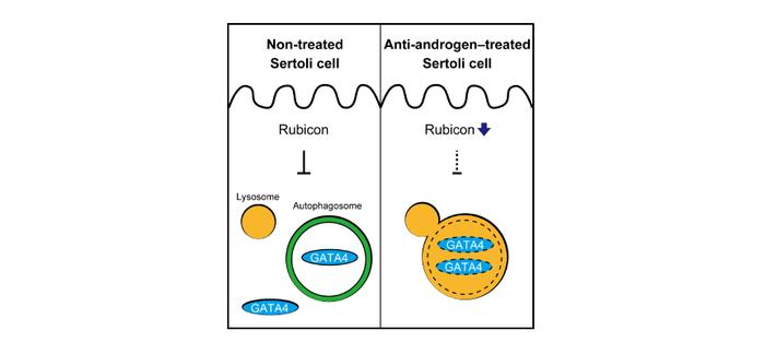 Figure 3. Regulation mechanism of GATA4 in Sertoli cells.