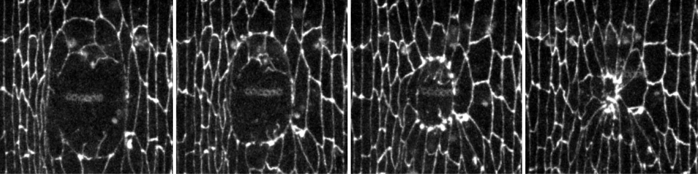 Time-Lapse Images of Wound Recovery in a Fruit Fly Embryo