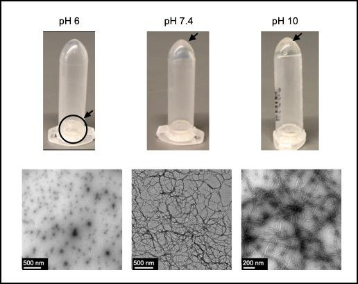Self-assembly of hydrogels from coiled-coil protein, Q, at different pH levels