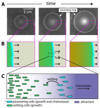 Expanding Population of Chemotactic Bacteria