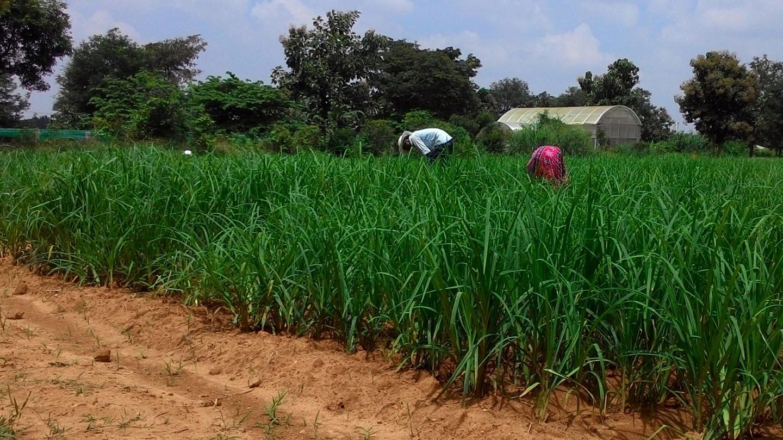 Cultivation of Finger Millet in India