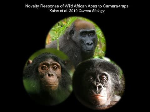 Wild Apes Reacting to Camera-Traps