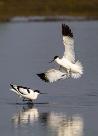 Waterbird: Avocet