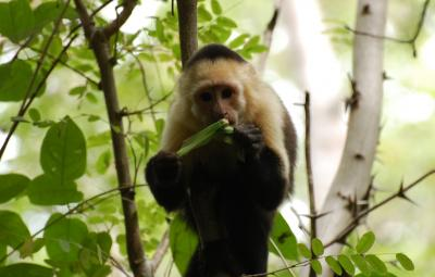 Capuchin With Katydid