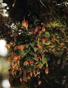 Lepanthes oro-lojaensis