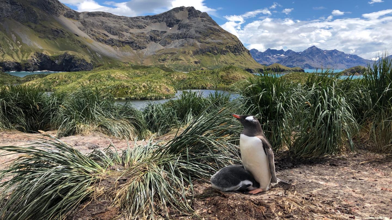 South Georgia Gentoo penguin