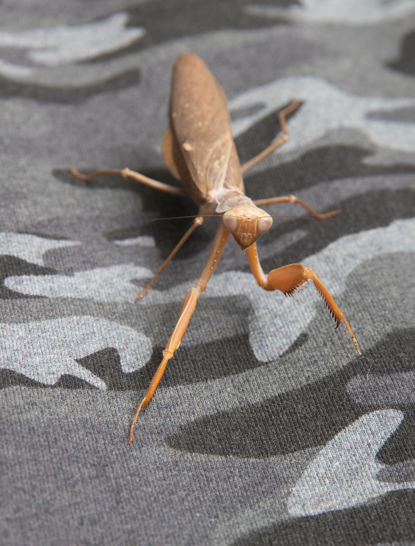 Praying Mantis on Camouflage Material