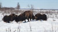 Bisons and Musk Oxen