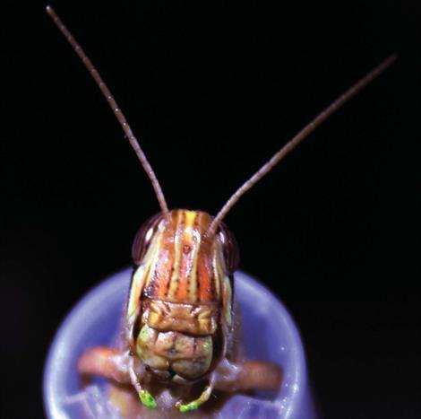 Locust Trained to Recognize Odors