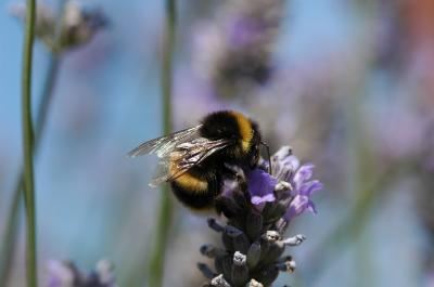 How Common Crop Pesticide Harms Bees (2 of 3)
