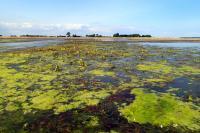 Gyldensten with Algae