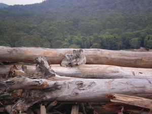 Mother and joey koala after deforestation of habitat.