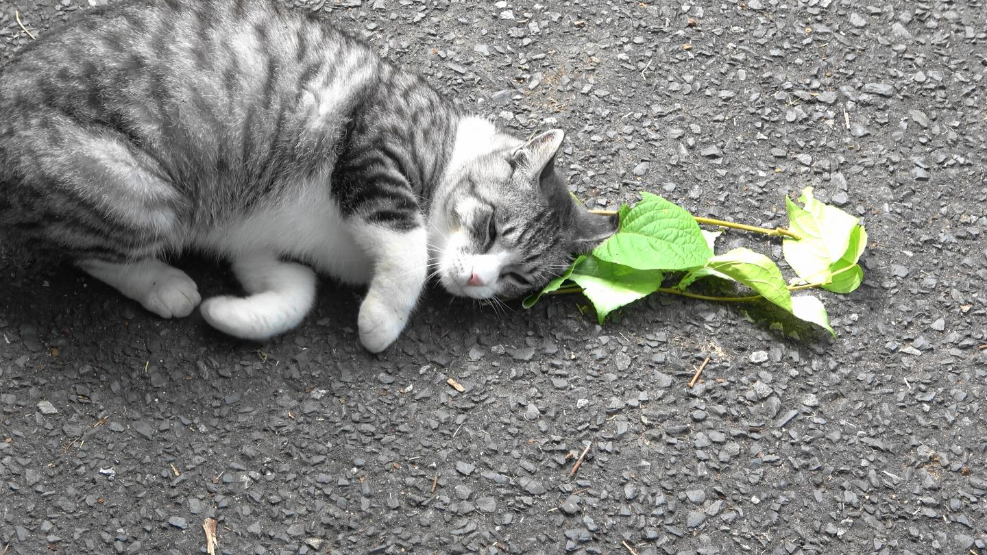 the silver vine response of a cat