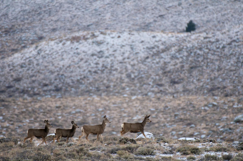 Migrating Mule Deer