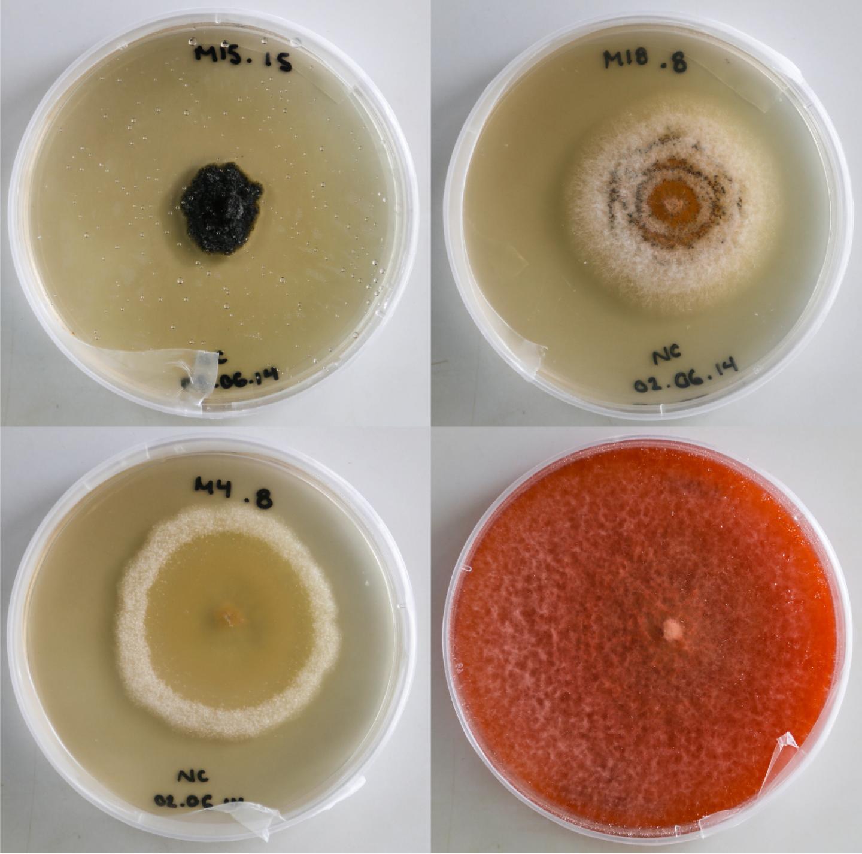 Foliar Endophytic Fungi in Culture