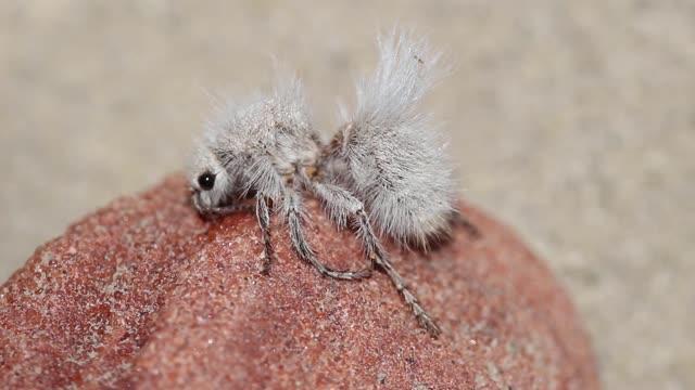 Video of the Thistle-down velvet ant (Dasymutilla gloriosa)