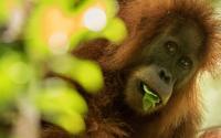 Orangutan (2 of 3)