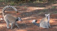 Lemur Waving His Tail