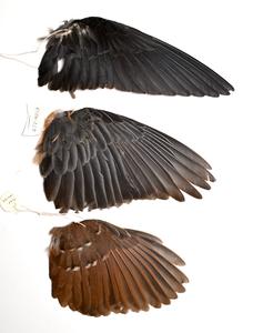 Museum wing specimens