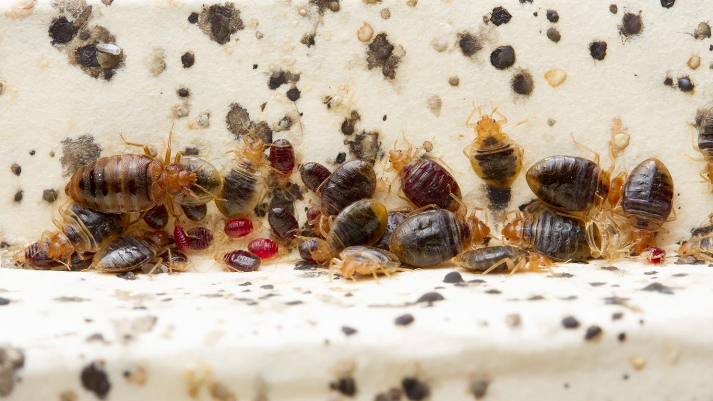 Bed Bug Histamines Are Substantial, Persistent in Infested Homes