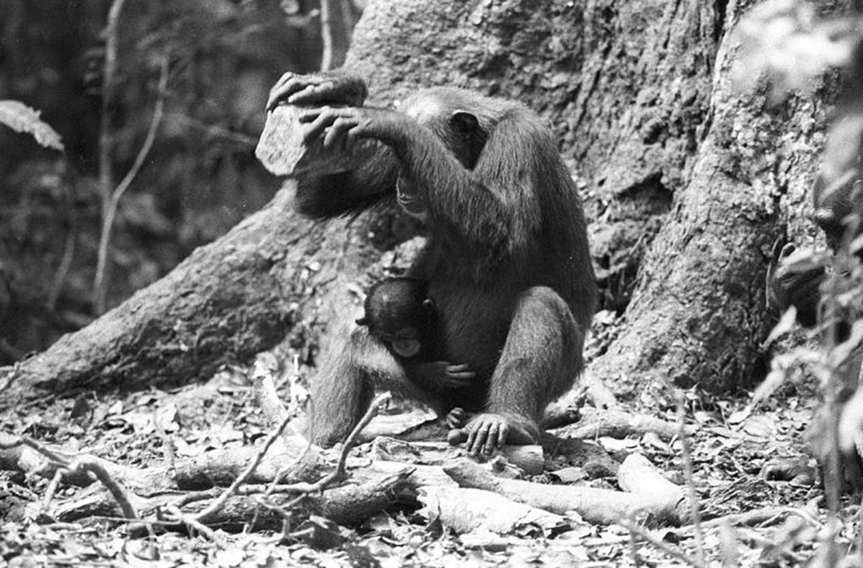 Chimpanzee Cracking Nuts