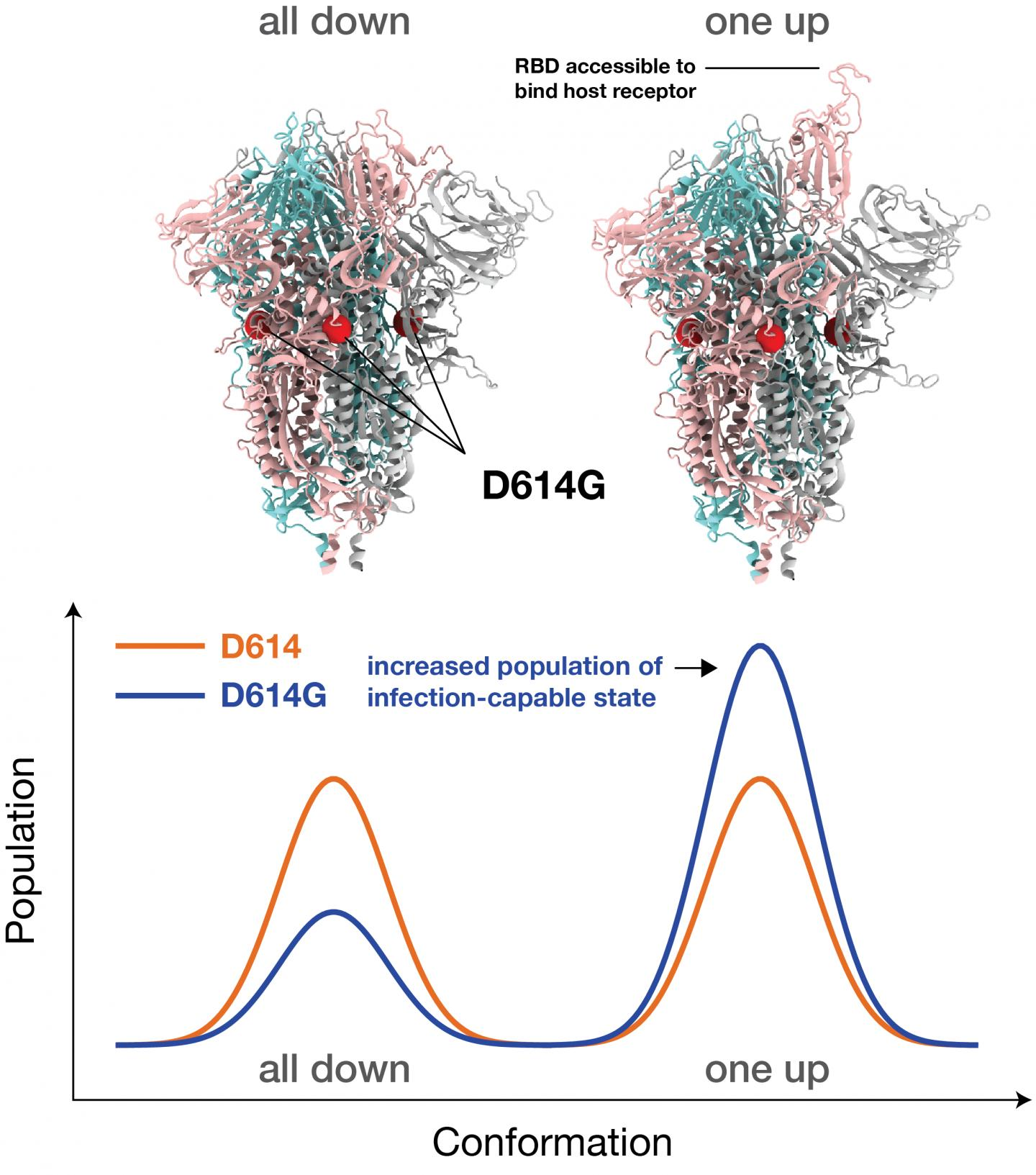 Dominant G-form Spike protein 'puts its head up' more frequently to latch on to receptors