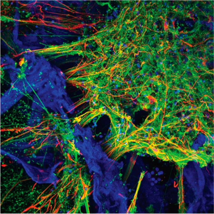Neurons and Astrocytes Populate the 3D Tissue Model