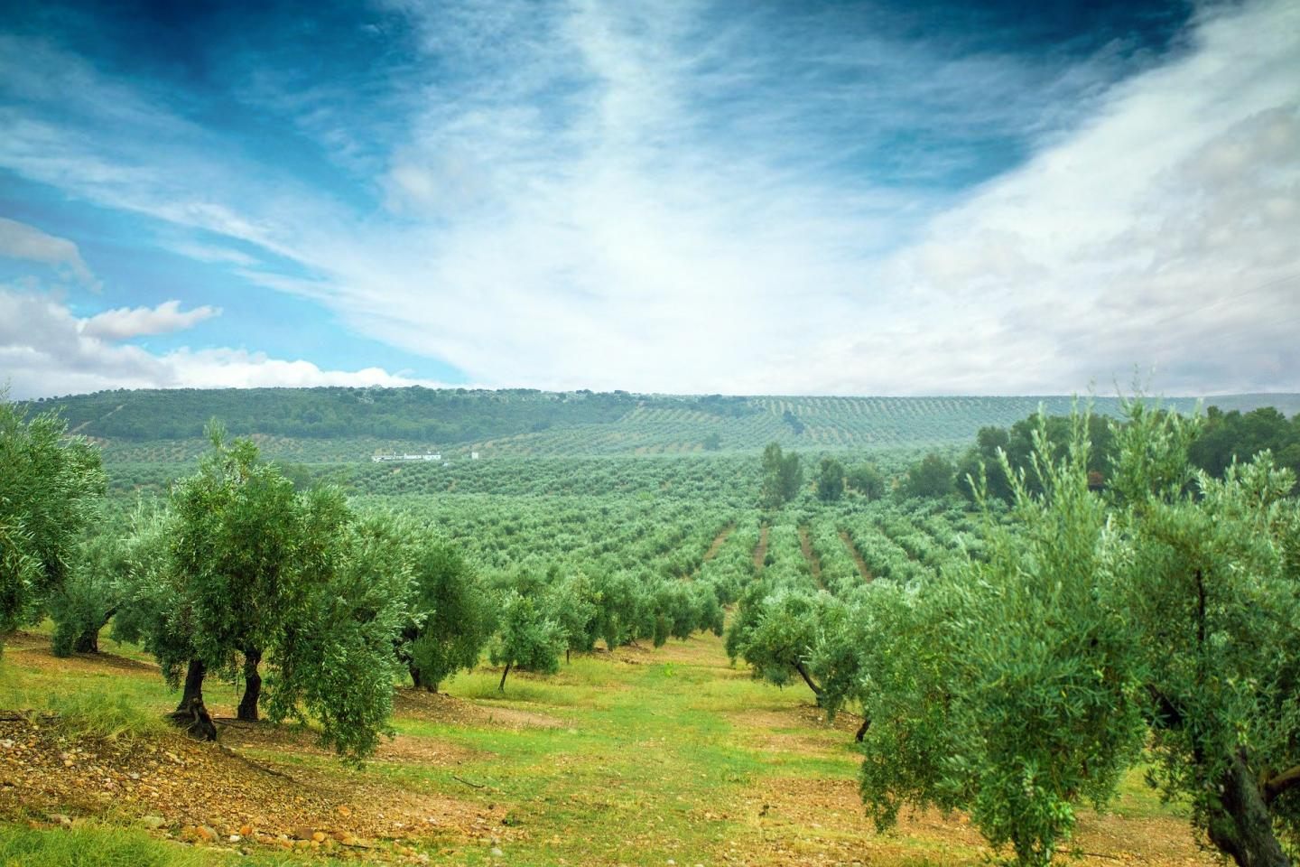 Archive image of a field of olive trees