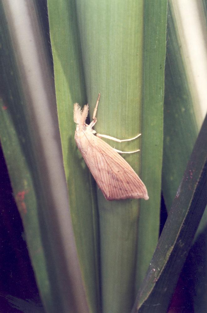 <em>Diatraea saccharalis</em>