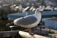 Herring Gull (1 of 3)