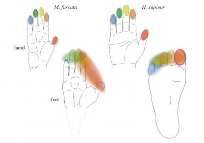 The Shape of the Hand and the Foot in 2 Primate Species