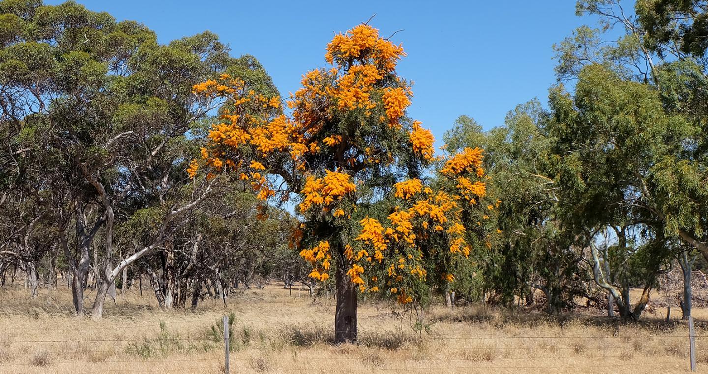 Nuytsia floribunda, also Known as the WA Christmas Tree, in Flower