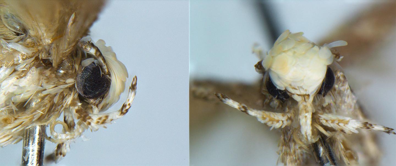 Close up of the Head of a Male <em>Neopalpa donaldtrumpi</em>