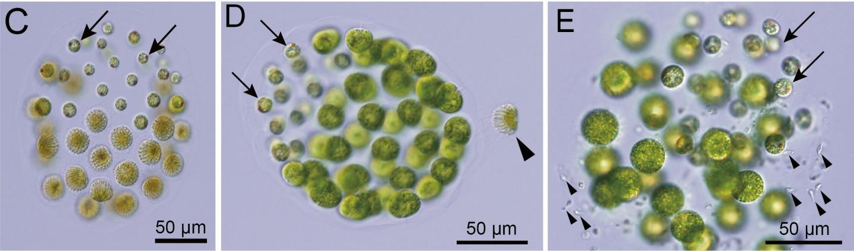 Male and female Pleodorina starrii under a light microscope