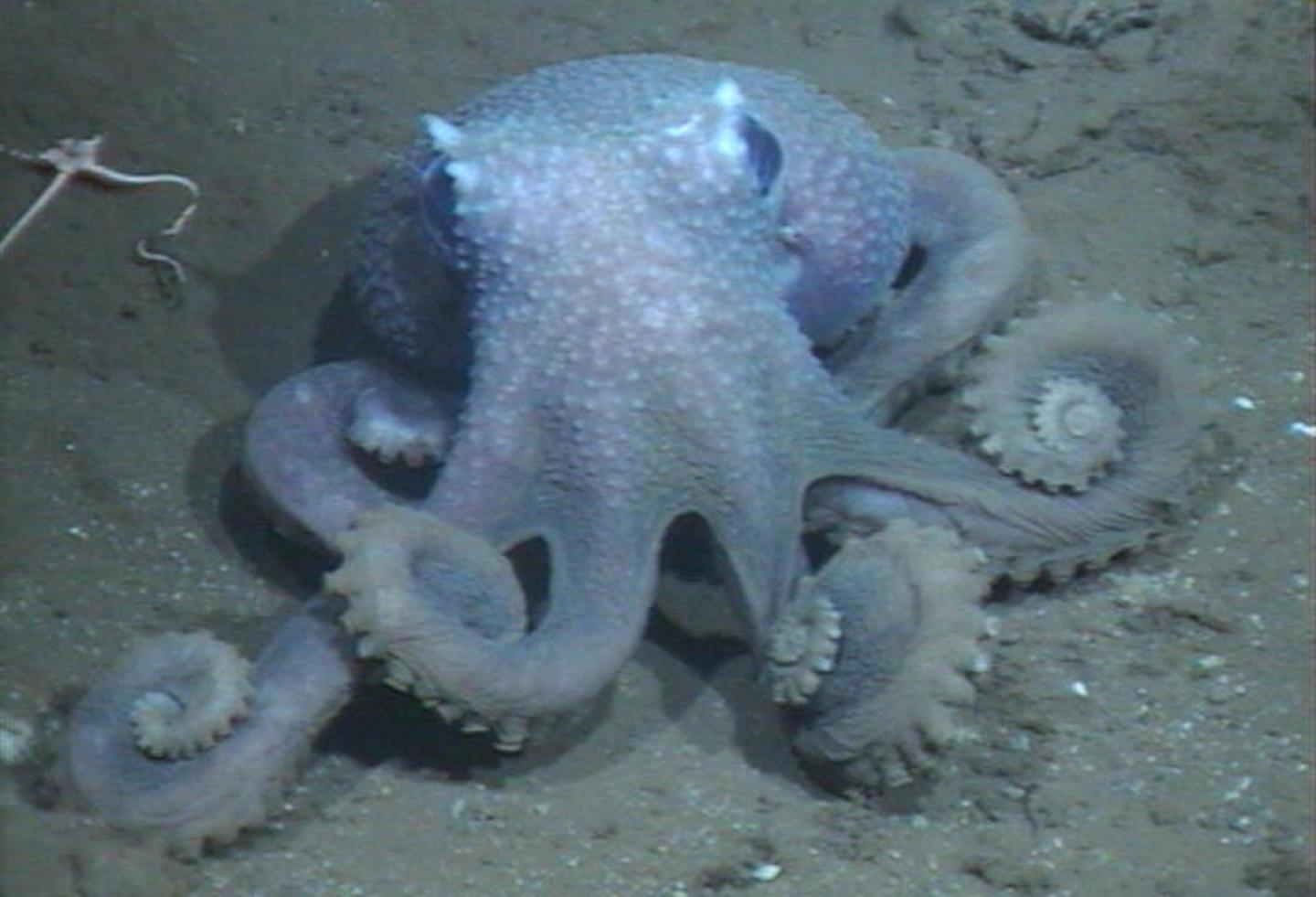 Warty Octopus