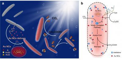 Gold Nanoparticles inside Bacterium
