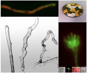 Mechanism that Coordinates Growth Spurts in Filamentous Fungi Revealed