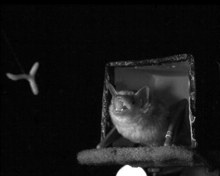 Kill Them With Cuteness: The Adorable Thing Bats Do to Catch Prey
