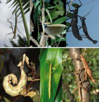 Stick Insects - New World and Old World Comparison