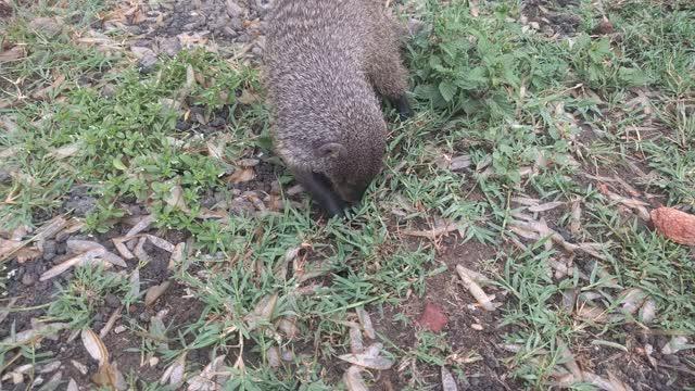 Mongoose Eating Termites