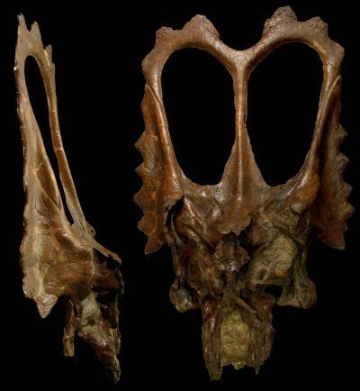 <i>Mojoceratops</i> Skull