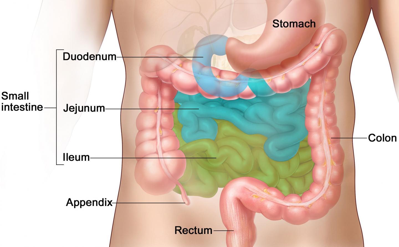 Small Intestine Anatomy