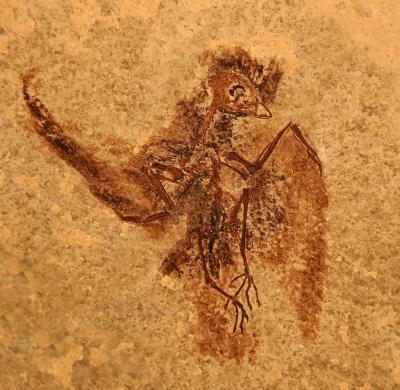 <i>Eocypselus rowei</i>, Wyoming