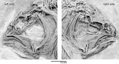 Skull of the Primitive Flatfish <i>Heteronectes</i>