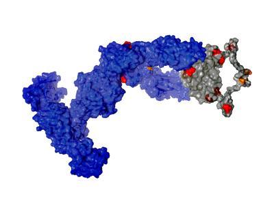 Nurse Shark's Immunoglobulin New Antigen Receptor Molecule
