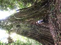 Enormous tree, several metres wide at base, reaches up to sky, man in front of it