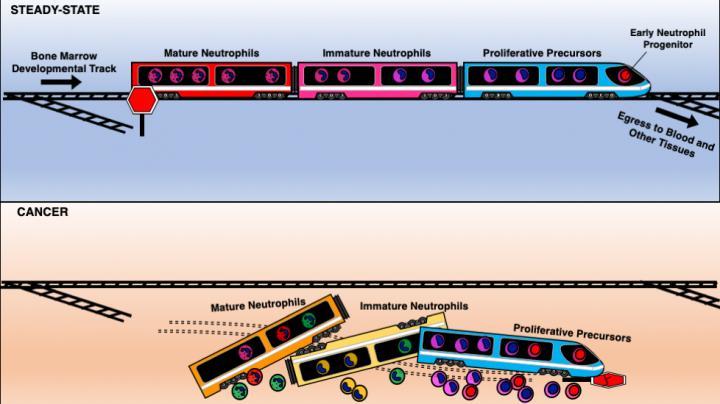 Neutrophil development