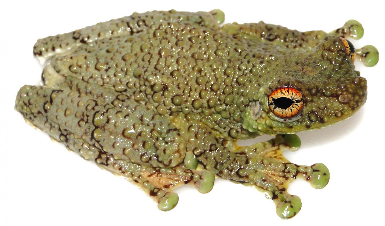 The New Tree Frog Species <i>Tepuihyla shushupe</i>