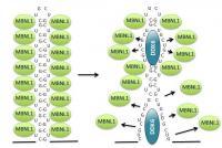 Toxic RNA in DM1 Cells